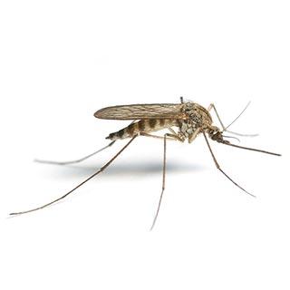 Sivrisinek & Karasinek