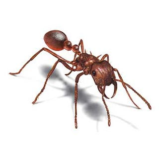 Karınca