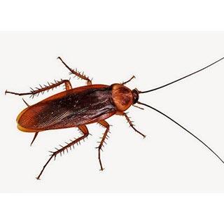 Kalorifer Böceği